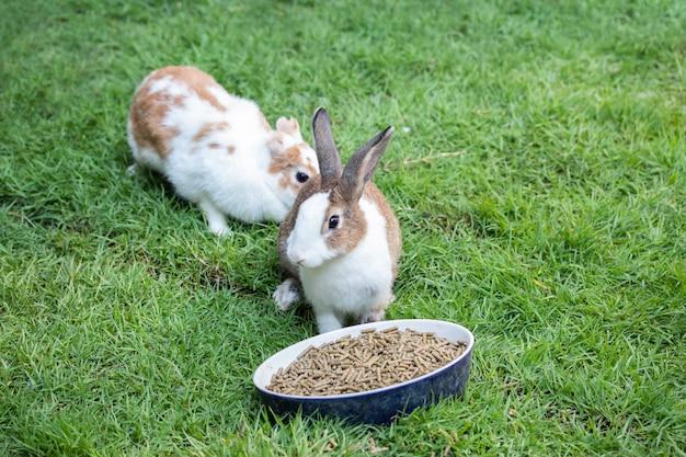 Lapin mange des granulés sur l'herbe verte.