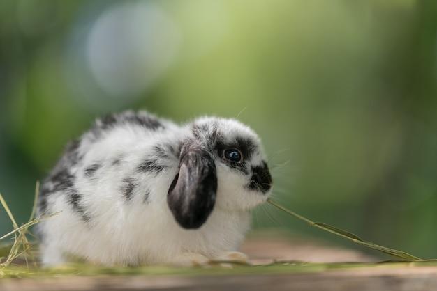 Lapin mangeant de l'herbe avec bokeh background bunny pet holland lop