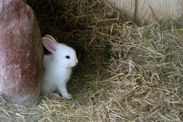 Lapin mignon bébé blanc assis sur l'herbe sèche dans la maison du lapin.