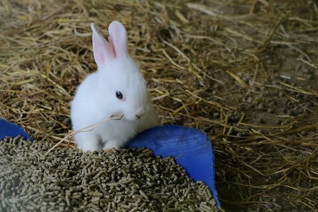 Lapin mignon bébé blanc mangeant du foin sec dans la maison du lapin.