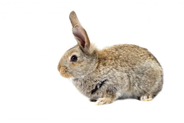 Lapin moelleux gris, isoler, petit lapin de pâques