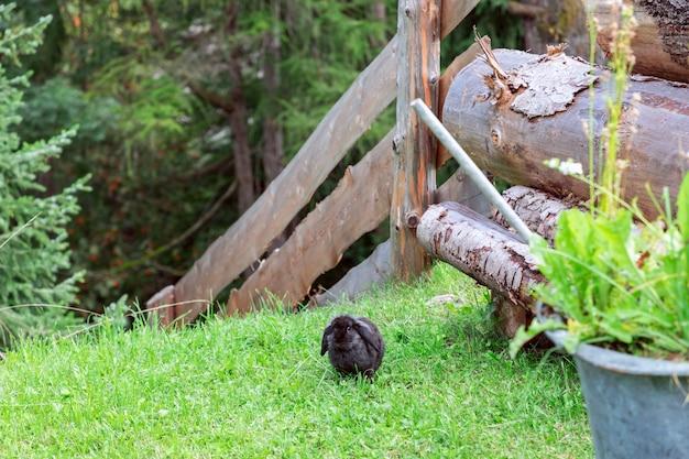 Lapin noir dans la cour.