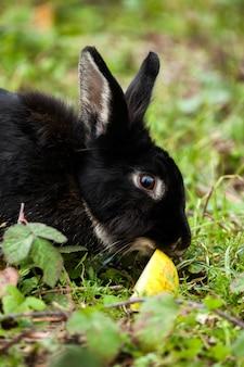 Lapin noir mange une pomme
