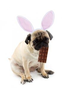 Lapin de pâques. chien carlin triste avec du chocolat dans la bouche et des oreilles de lapin.