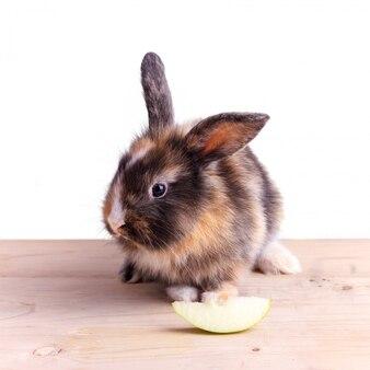 Lapin tricolore à grandes oreilles mangeant une pomme