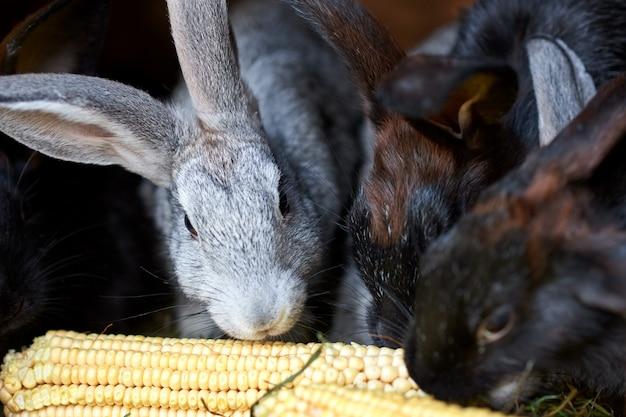 Lapins gris et noirs mangeant des épis de maïs, gros plan