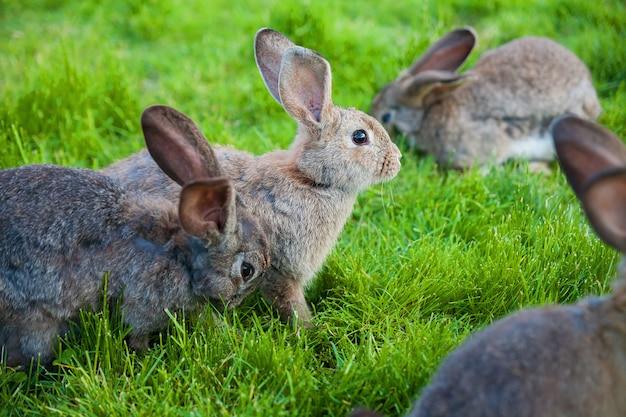 Les lapins mangent l'herbe dans le jardin