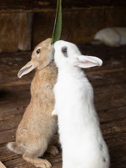 Les lapins se lèvent pour manger des feuilles vertes.