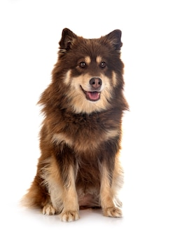 Lapphund finlandais in front of white background