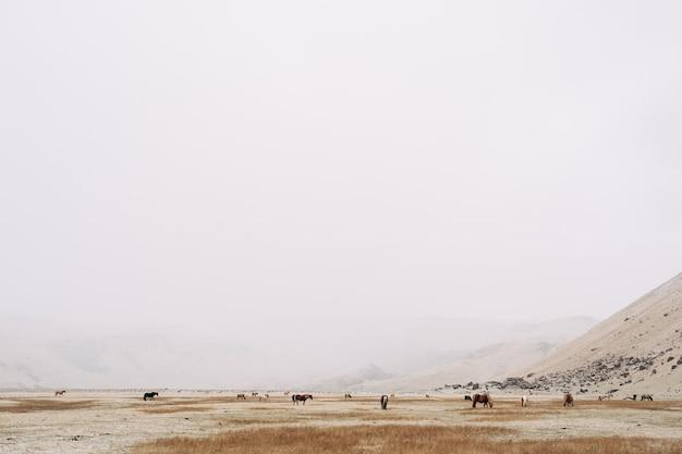 Un large contour d'un cheval paissant sur un champ au milieu d'une couverture neigeuse les montagnes ne sont pas visibles en raison de