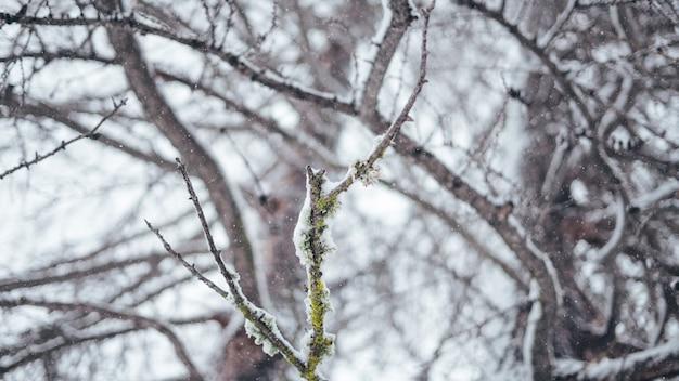 Large gros plan sélectif tourné d'une branche d'arbre couvert de neige