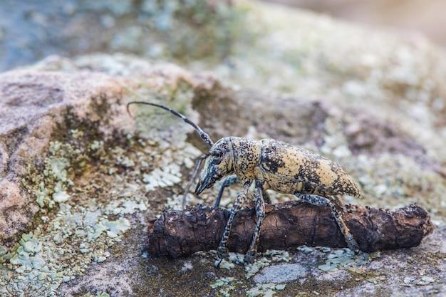 La larve ennuyeuse, gahan, coleoptera, cerambycidae, sur le bois et la roche.