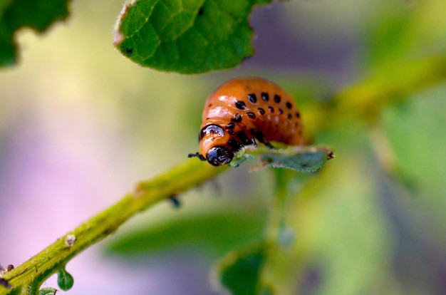 Les larves de coléoptères du colorado mangent des feuilles de jeunes pommes de terre