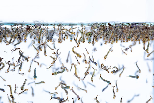 Larves de moustiques dans l'eau sur fond blanc.