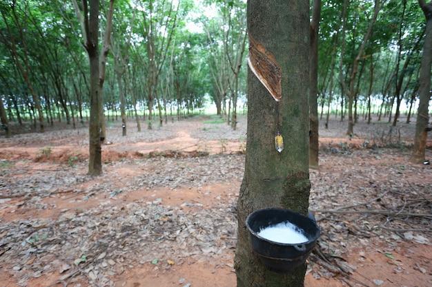 Latex dans la coupe noire d'une plantation d'hévéa.