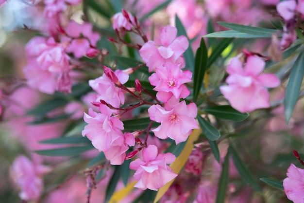 Laurier Rose Nérium. De Belles Fleurs Se Bouchent. Photo De Haute Qualité Photo Premium