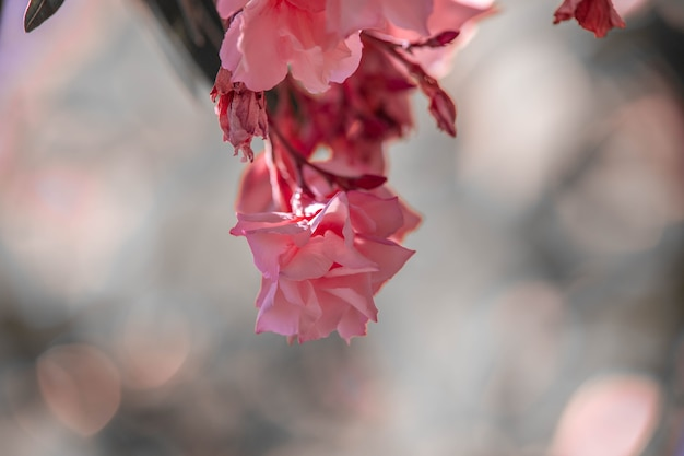 Laurier rose nérium. de belles fleurs se bouchent. photo de haute qualité