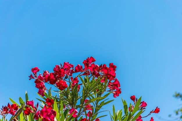 Le laurier-rose pousse dans les pays à climat chaud.