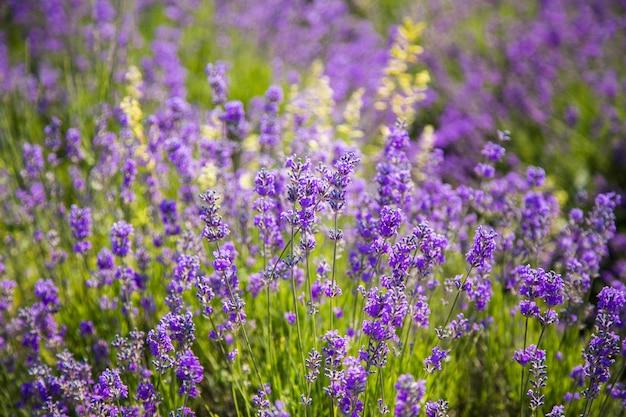 Lavande buissons closeup sur coucher de soleil. coucher de soleil brille sur les fleurs violettes de lavande.