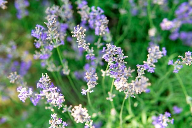 Lavande en fleurs dans un champ en gros plan, en été dans les rayons du soleil au coucher du soleil. mise au point sélective.