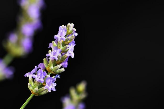 Lavande. magnifique plante violette en fleurs - lavandula angustifolia (lavandula angustifolia)