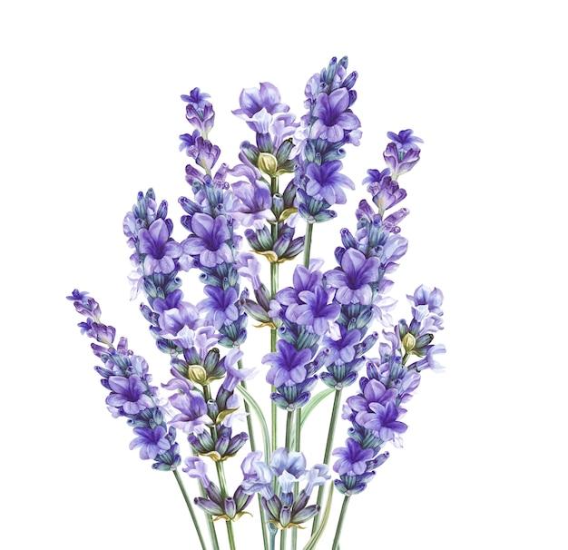 Lavandula à base de plantes aromatiques.
