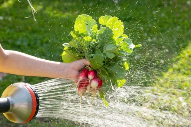Laver les radis fraîchement cueillis du jardin potager dans l'évier de la cuisine