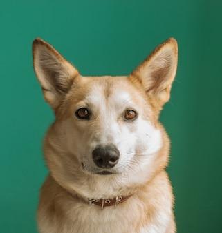 Layka chien husky. portrait détaillé sur fond bleu.