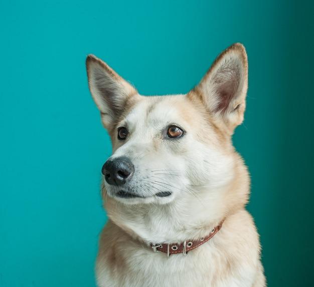 Layka chien husky. portrait détaillé