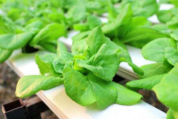 Légume biologique frais en hydroponie, sans potager du sol. concept d'innovation pour la vie.