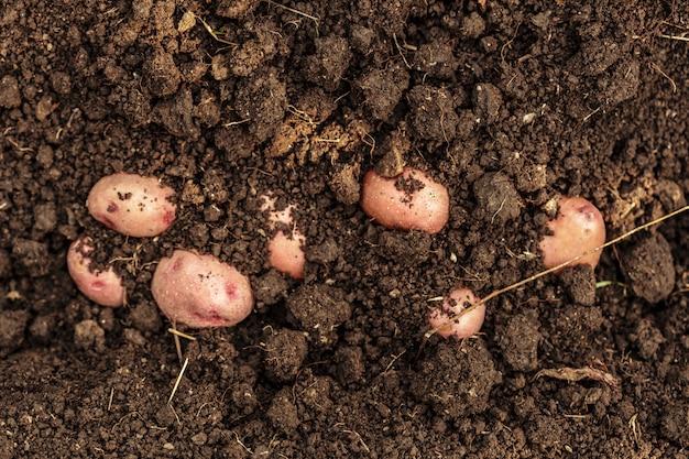 Légume de champ de pomme de terre avec tubercules à la surface du sol