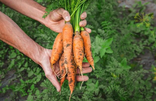 Légumes bio maison entre les mains des hommes.