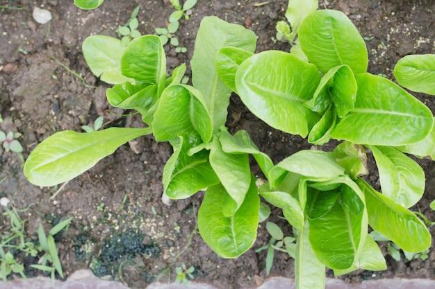 Légumes biologiques, aliments sains dans mon jardin