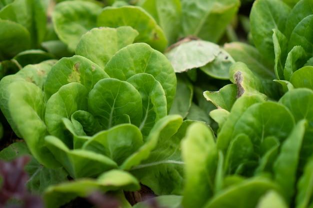 Légumes biologiques frais dans une ferme biologique