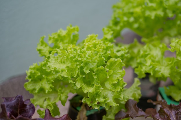 Légumes biologiques frais, feuille verte