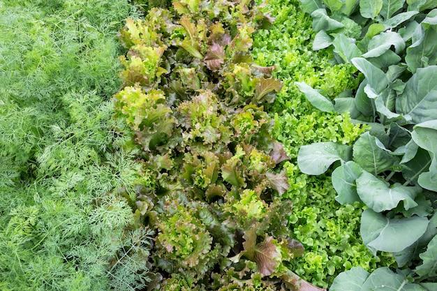 Légumes biologiques (persil, laitue, chou frisé) pour la cuisson.