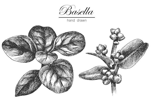 Légumes dessin à la main de basella croquis d'illustration vectorielle
