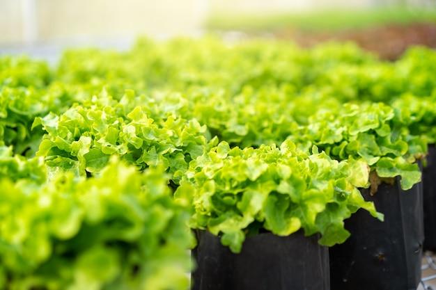 Légumes hydroponiques frais en serre.