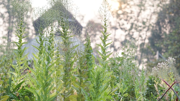 Légumes de laitue poussant dans la ferme de jardin pour la collecte de graines