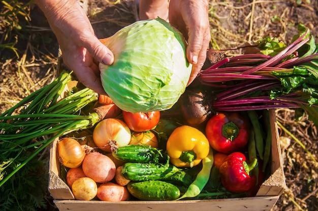 Légumes maison dans le jardin. mise au point sélective.