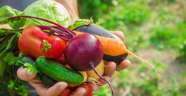 Légumes maison dans les mains des hommes. récolte. mise au point sélective.
