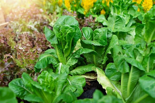 Légumes organiques. concept de plantation hydroponique