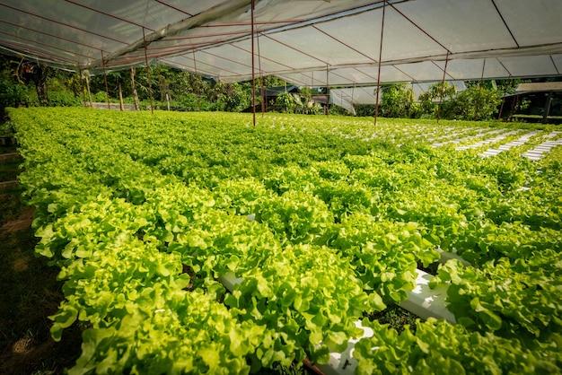 Légumes de salade bio hydroponique verte à la ferme, thaïlande.