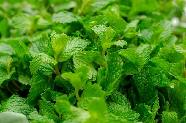 Légumes verts à la menthe fraîche, vue rapprochée.