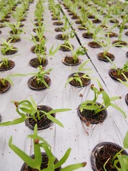 Légumes verts tatsoi frais cultivés dans des pots hydroponiques.