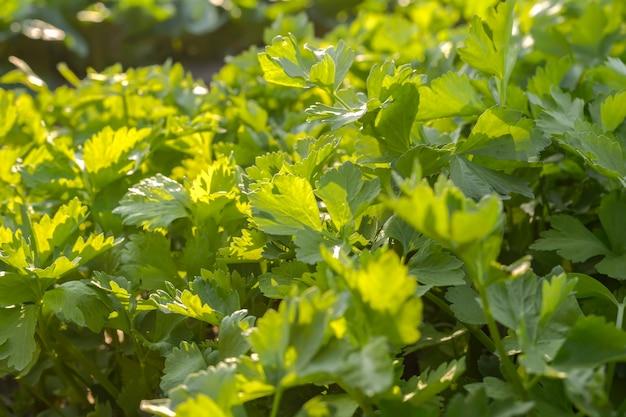 Légumes verts vifs dans le potager bio sans produits chimiques