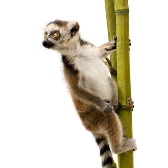 Lémur catta, lemur catta sur un blanc isolé