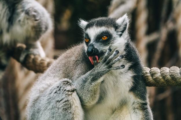 Lemur lèche son doigt