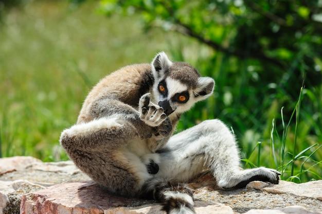 Lemur à queue annelée lèche sa jambe