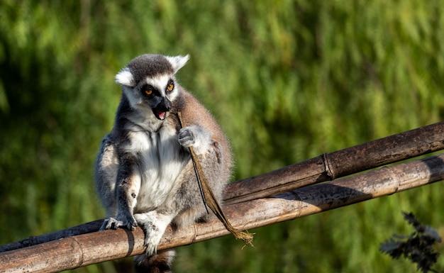 Un lémurien assis sur une branche de bambou